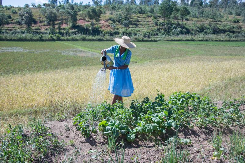 Arrosage du périmètre maraîcher avec de l'eau prise dans la rizière